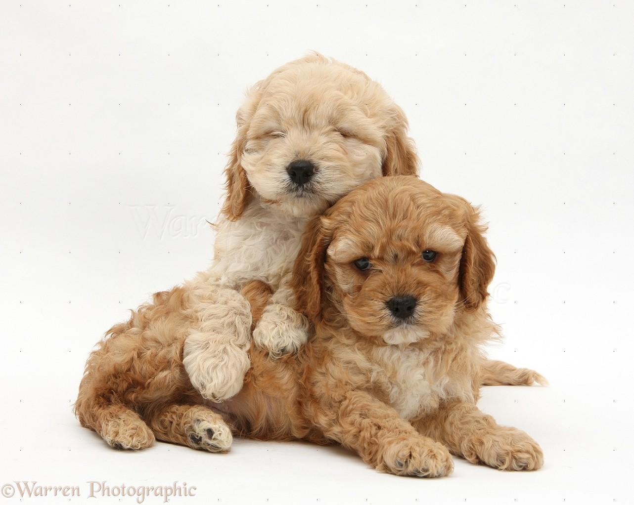 Dogs sleepy golden cockapoo pups photo wp25632