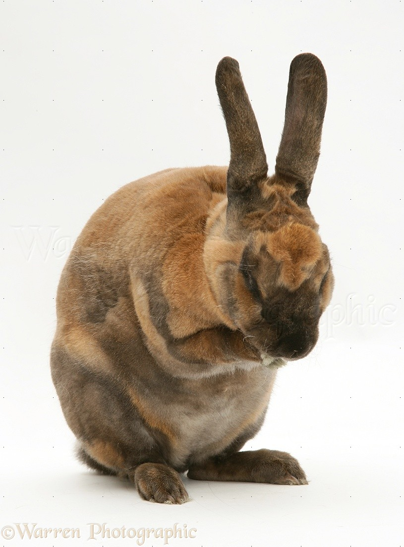 sooty fawn rex rabbit washing it s face photo   wp25645