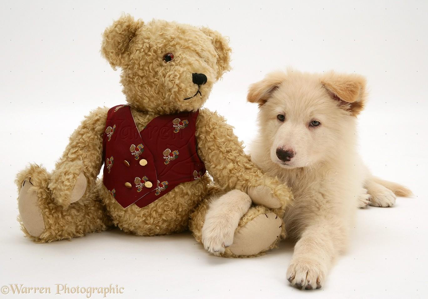 Dog Like Teddy Bear