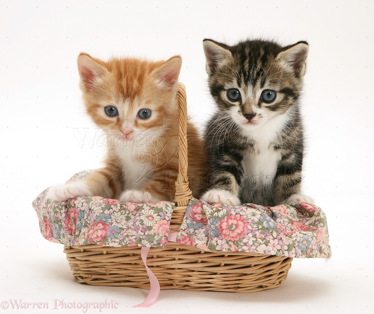 Tabby and ginger kittens in a wicker basket photo WP25667 Tabby Cat