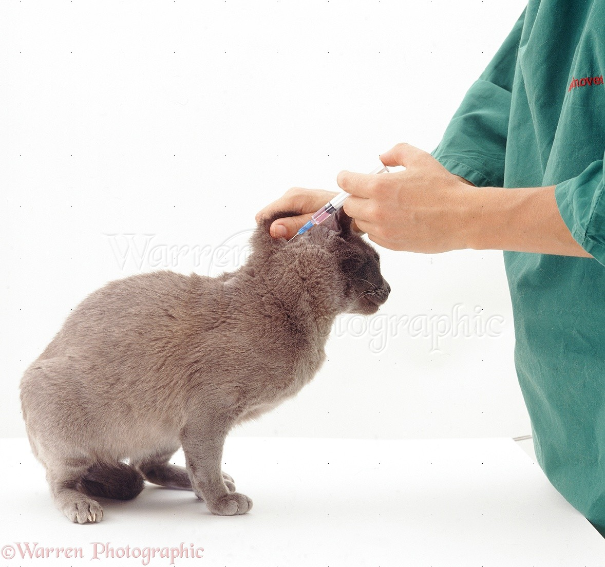 Giving Booster Vaccination To A Cat Photo WP25698