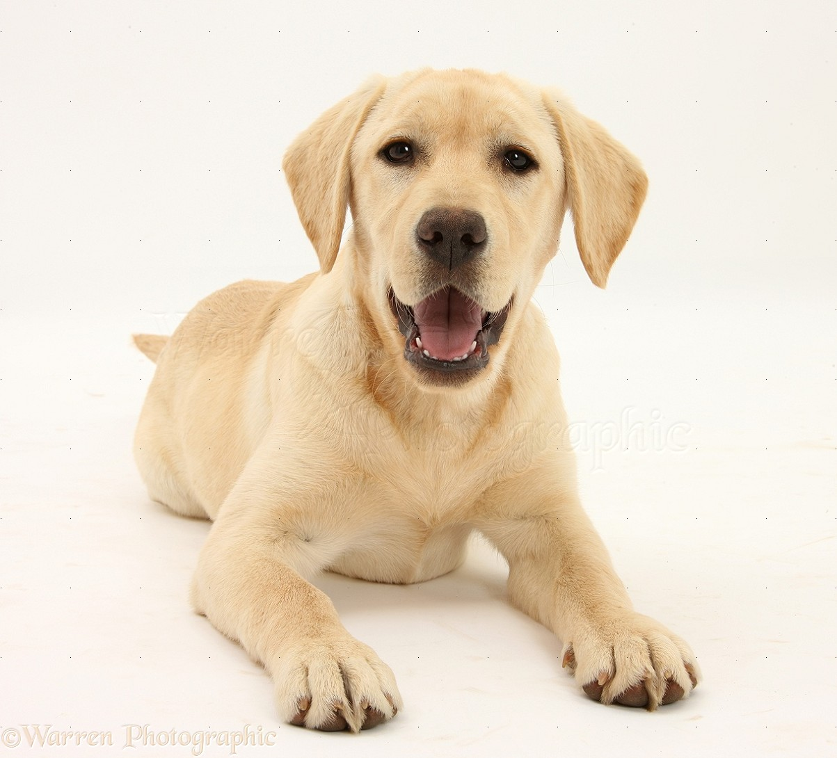 Dog Yellow Labrador Retriever Pup 5 Months Old Photo Wp25752