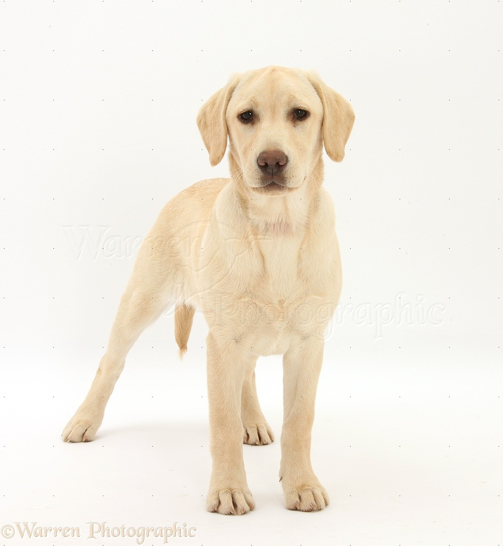 Dog Yellow Labrador Pup 5 Months Old Standing Photo Wp25791