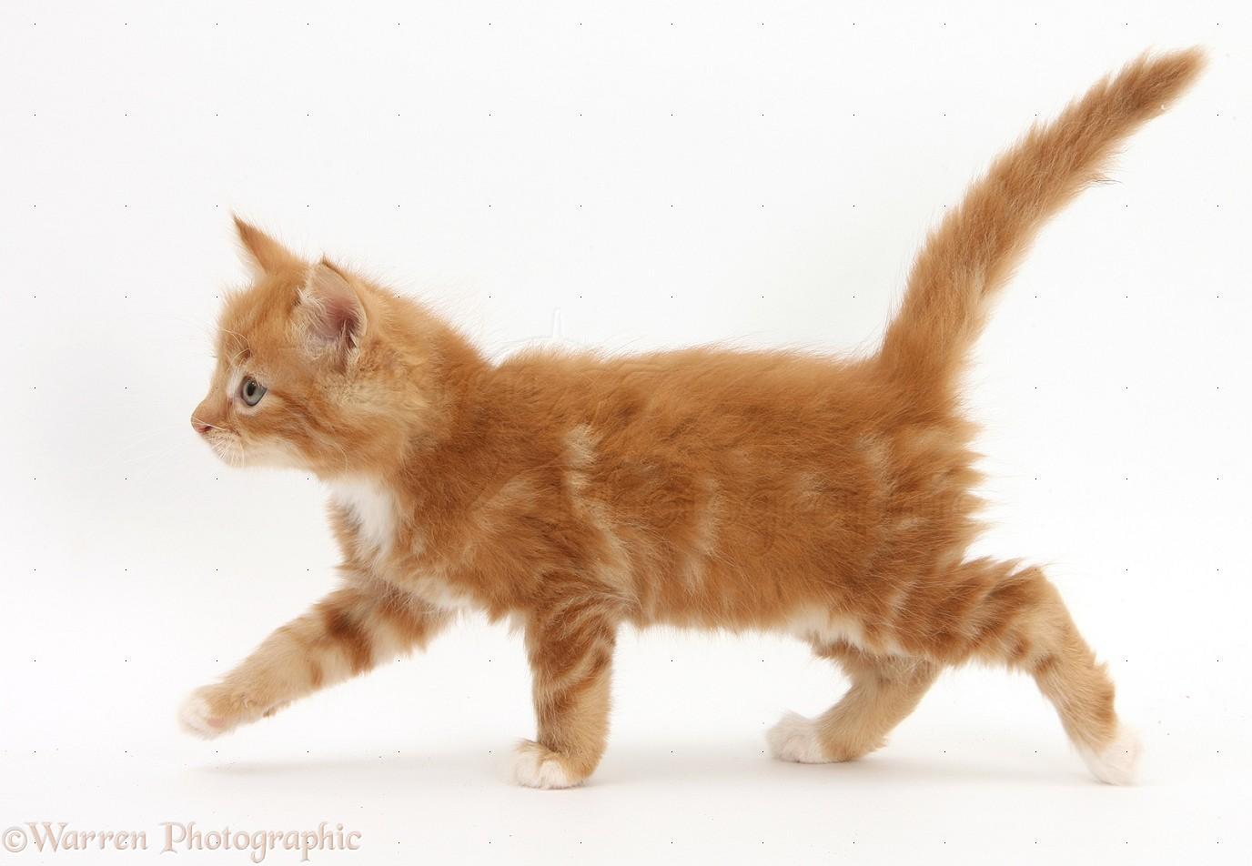Cat Walking In House