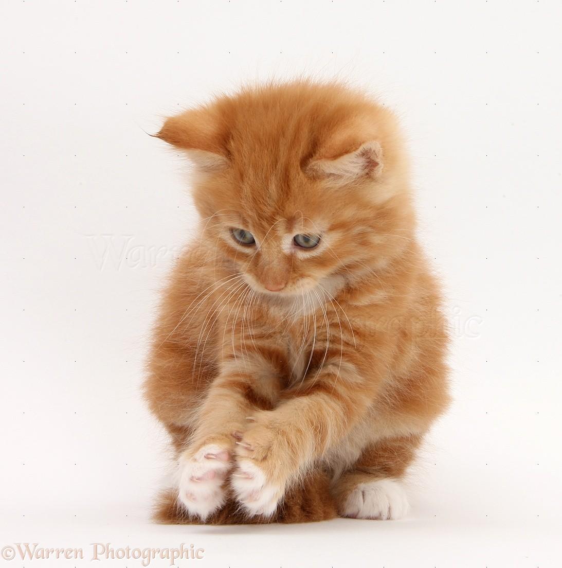 Playful Kitten Ginger