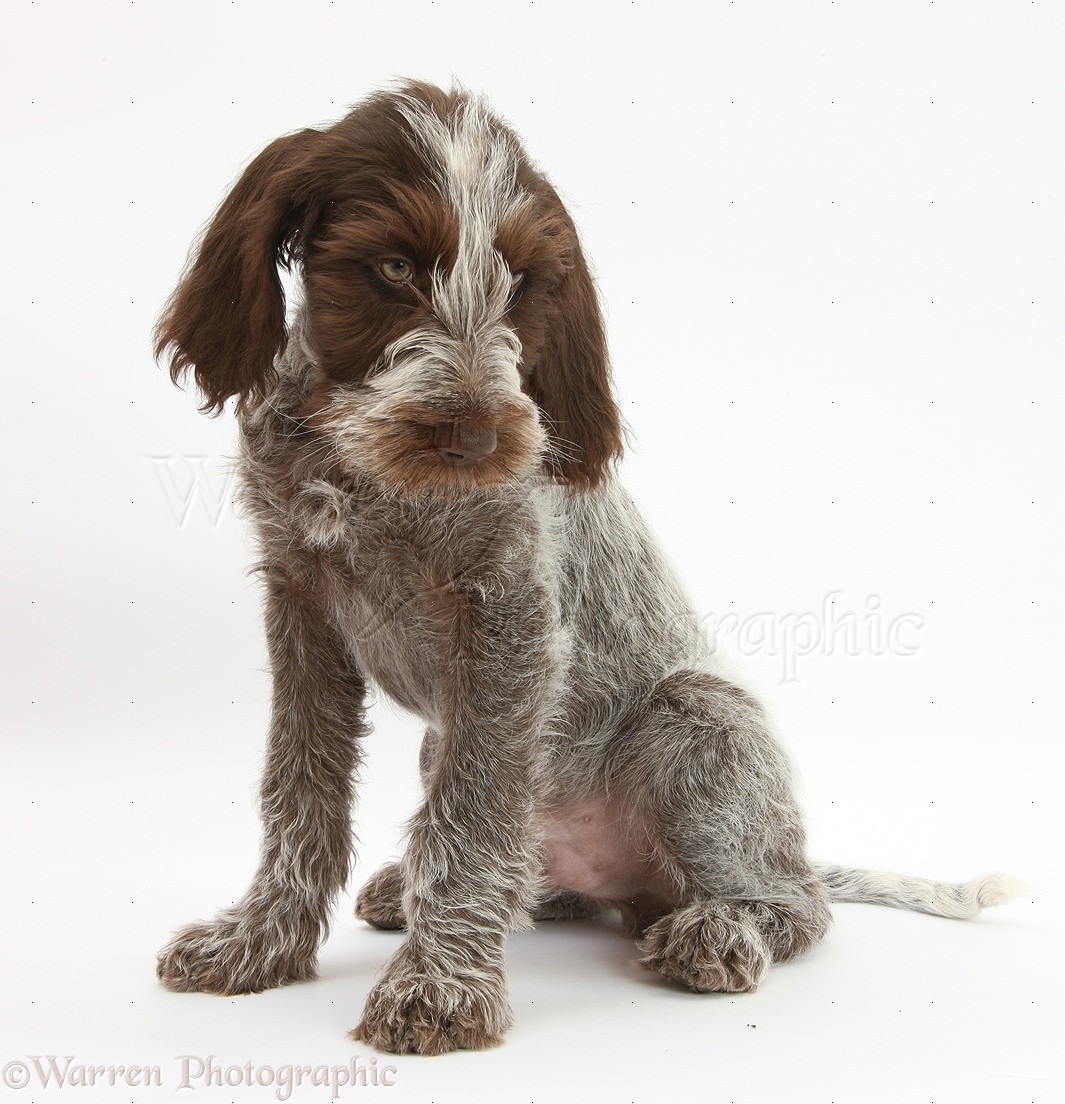 Image of italian spinone brown roan young puppy blue sitting cute - Image Of Italian Spinone Brown Roan Young Puppy Blue Sitting Cute Puppy Red Guinea Pig