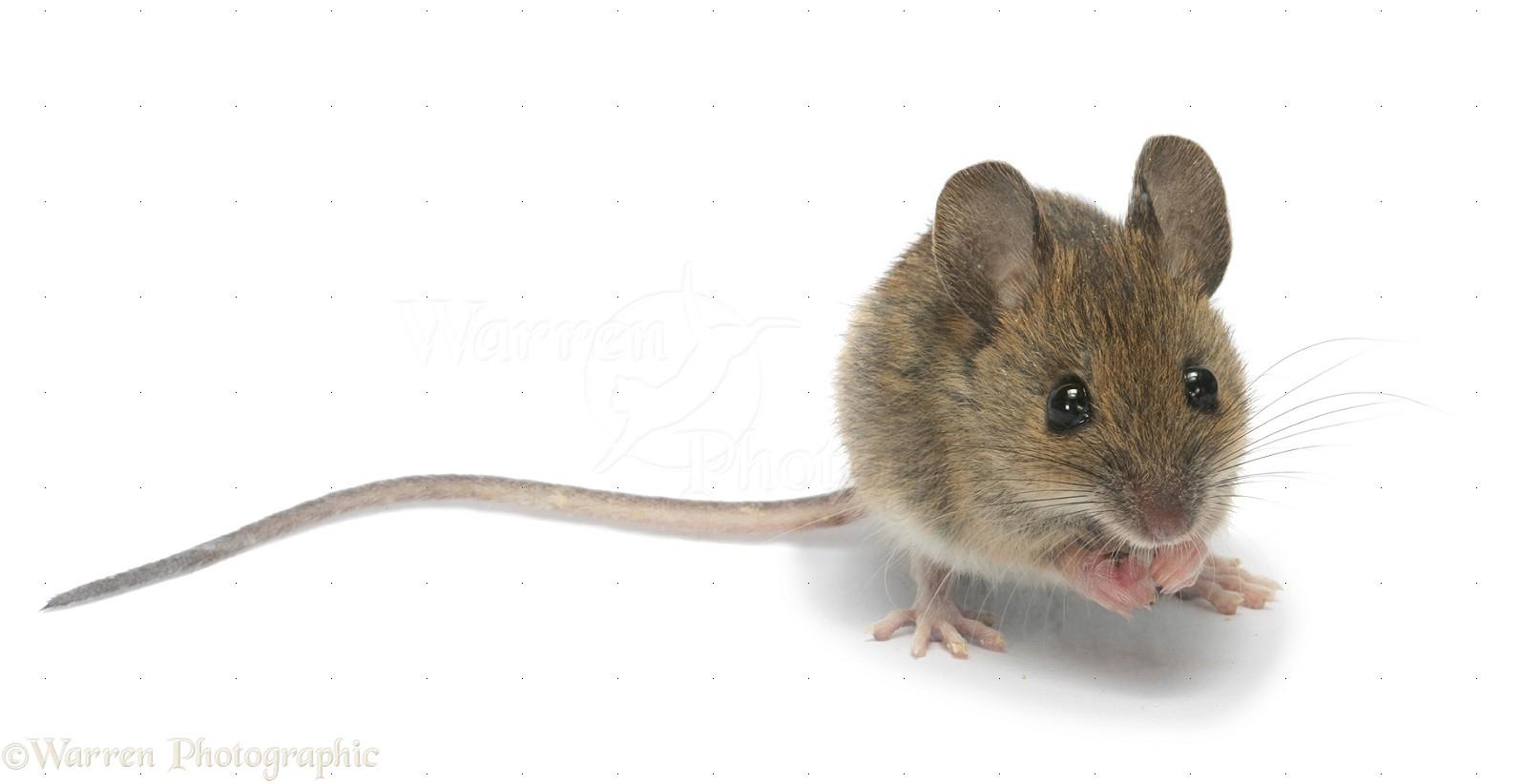 Wood Mouse Photo Wp26016