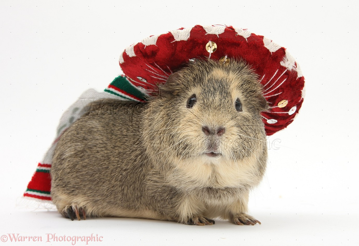 Wp26099 guinea pig wearing a mexican hat