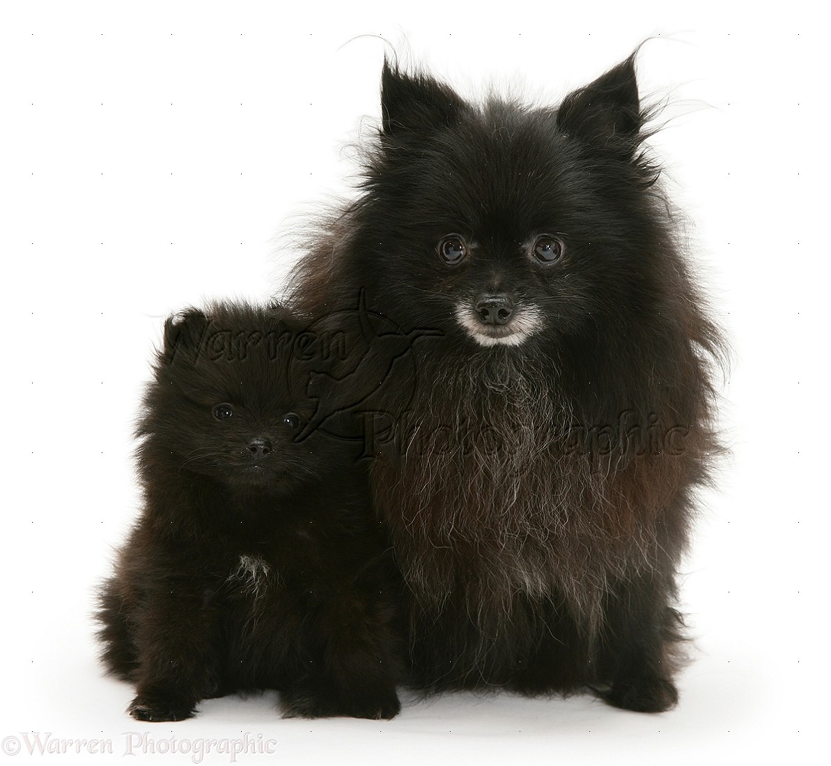 Black Pomeranian mother and pup .