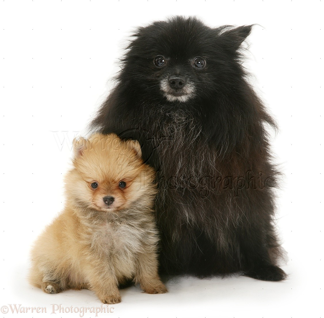 Black Pomeranian mother and gold pup .