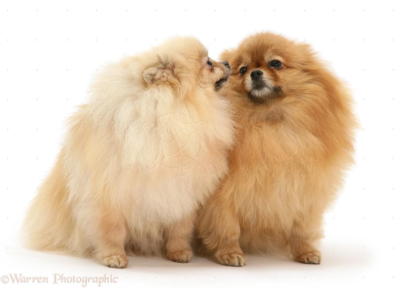 White Pomeranian Dog Puppies