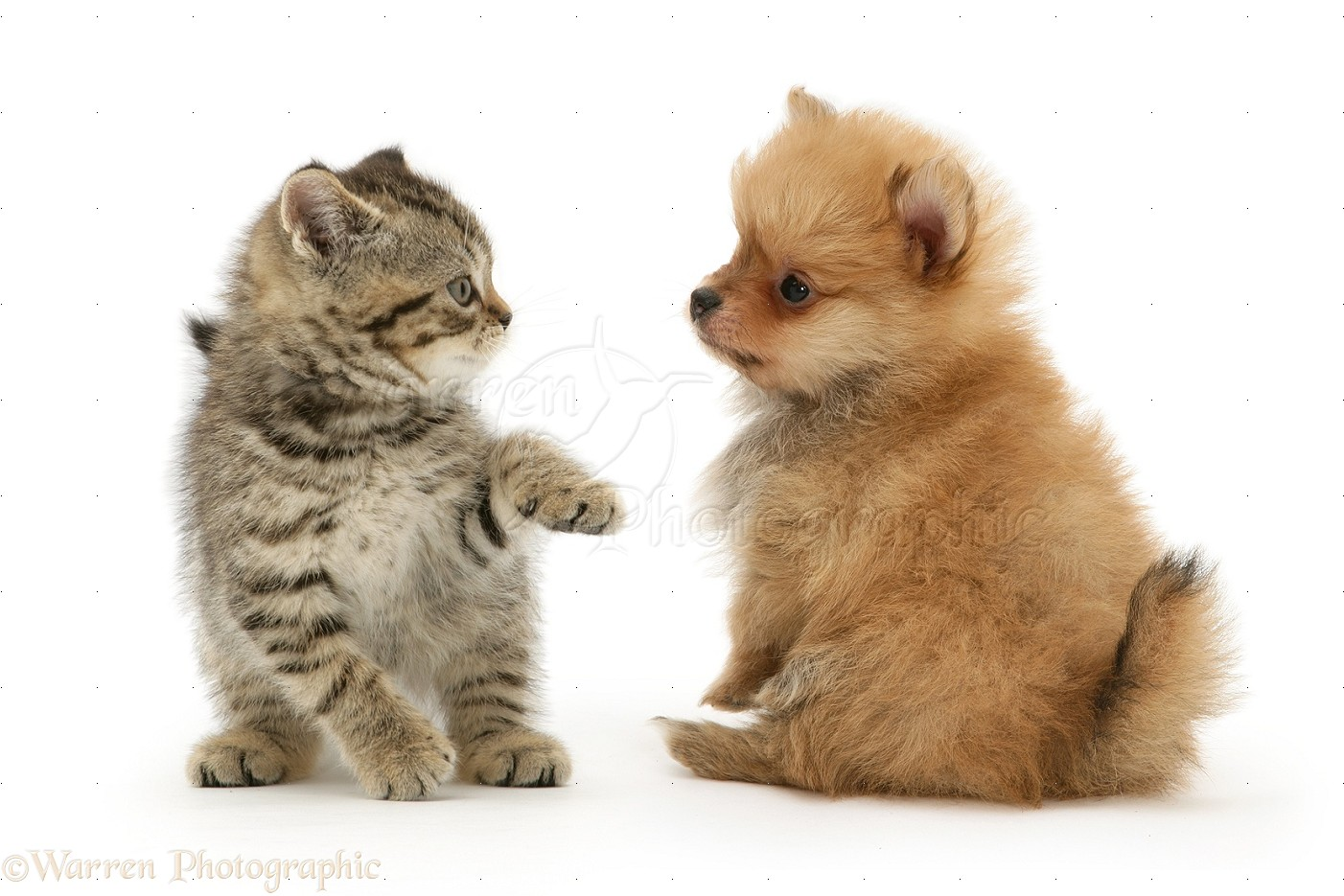 pomeranian and cats pets british shorthair kitten and pomeranian pup photo 7461