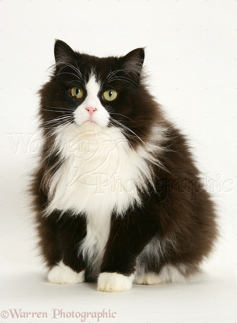 Fat black and white cat
