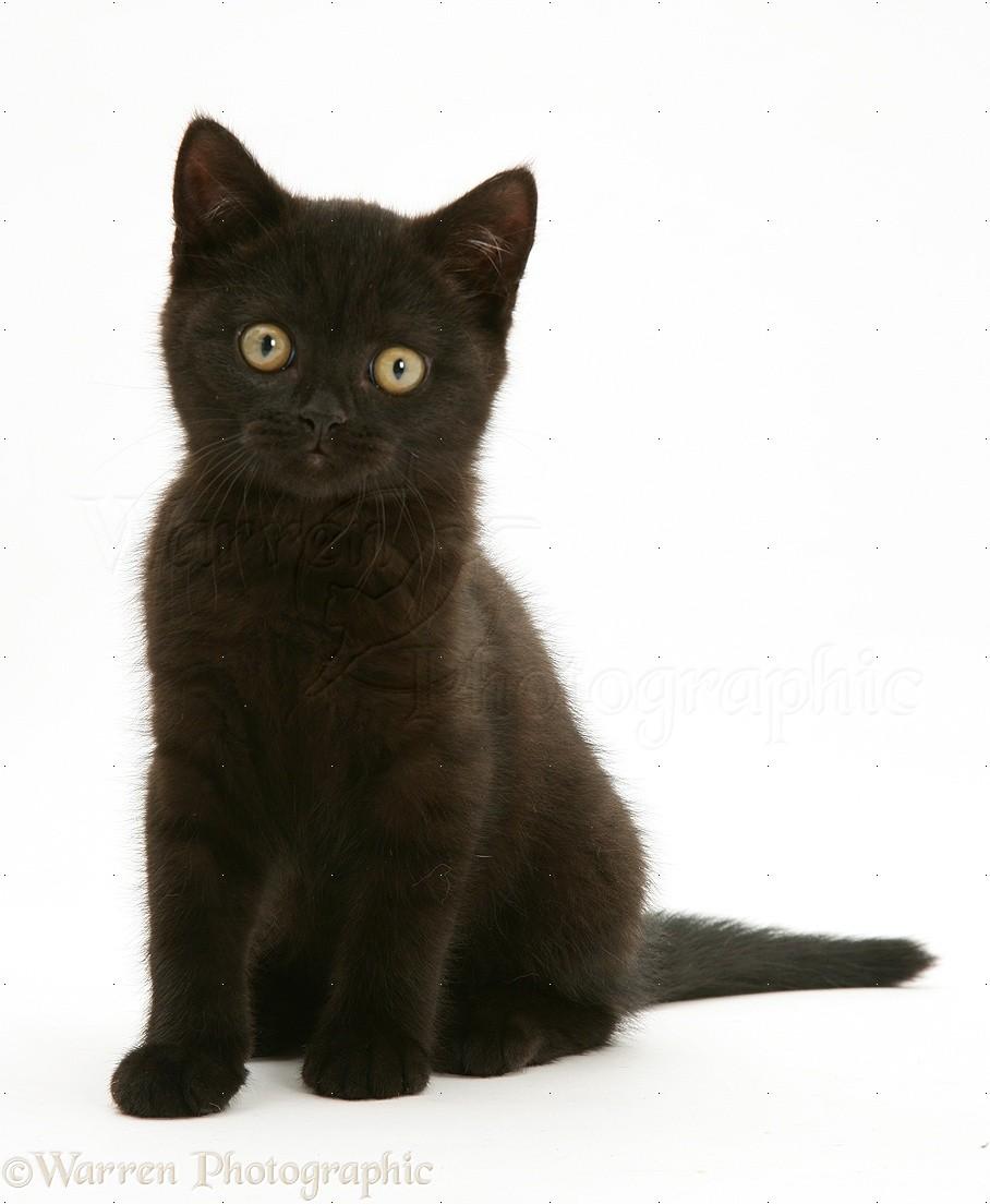 Black And White British Shorthair Cat