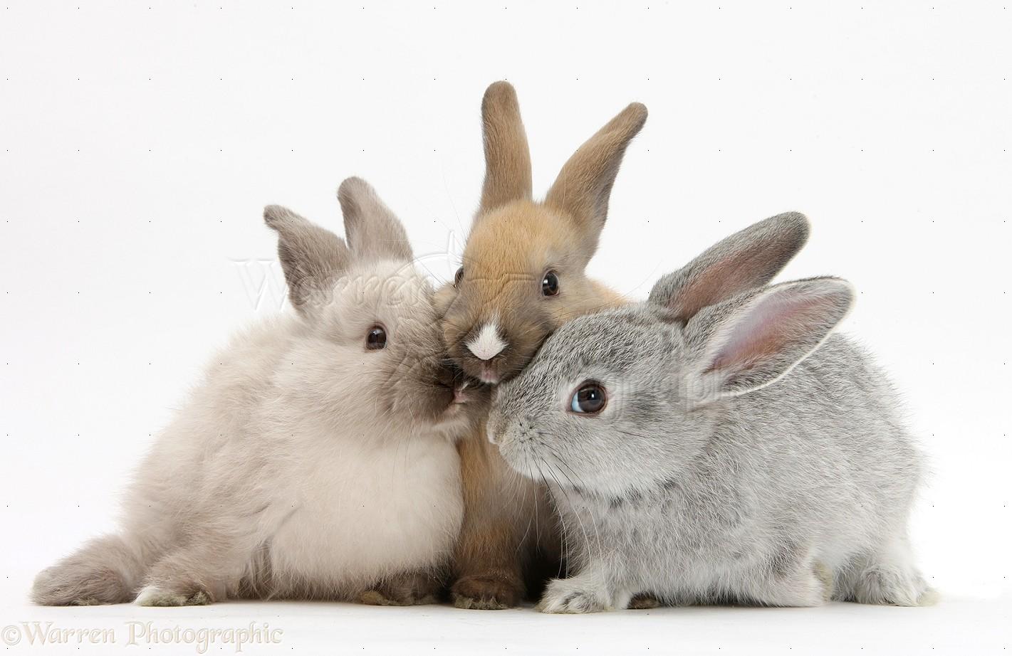 Wp26329 three baby rabbits