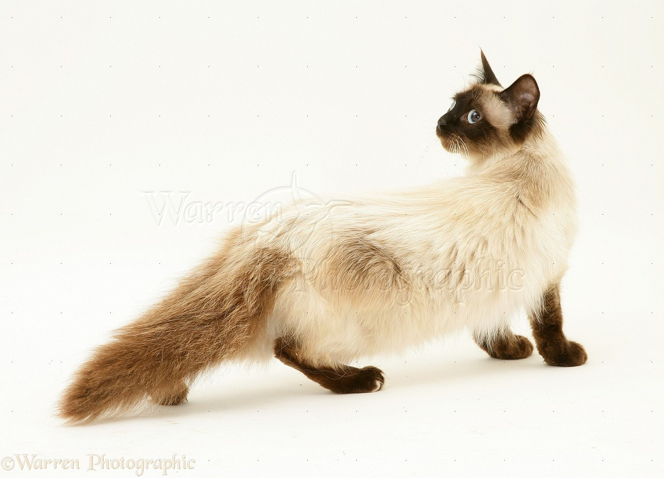 Seal point birman cross cat anxiously creeping