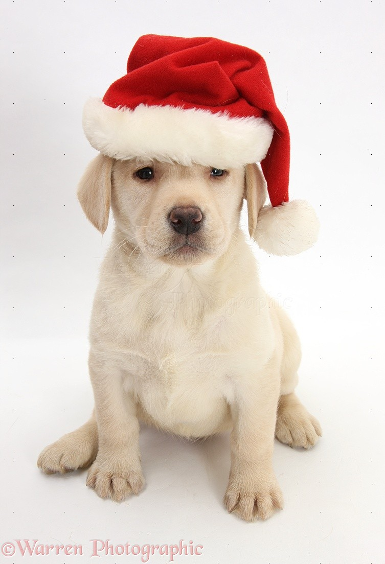 Christmas Hats For Dogs.Dog Yellow Labrador Pup Wearing A Santa Hat Photo Wp26421
