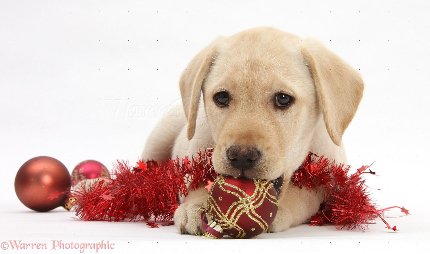 Yellow Lab Christmas Wallpaper