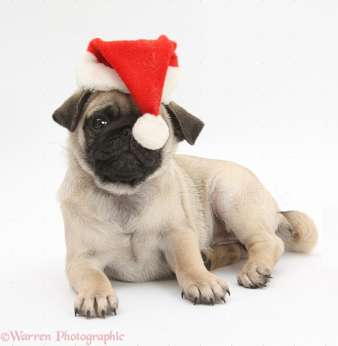26587-Fawn-Pug-pup-8-weeks-old-wearing-a-Santa-hat-white-background Workmate Bench Parts