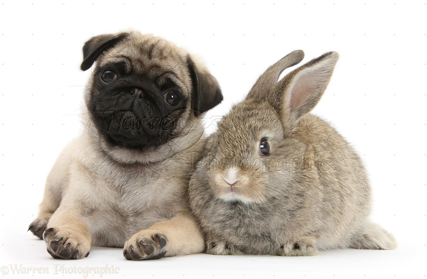 pug puppies #8