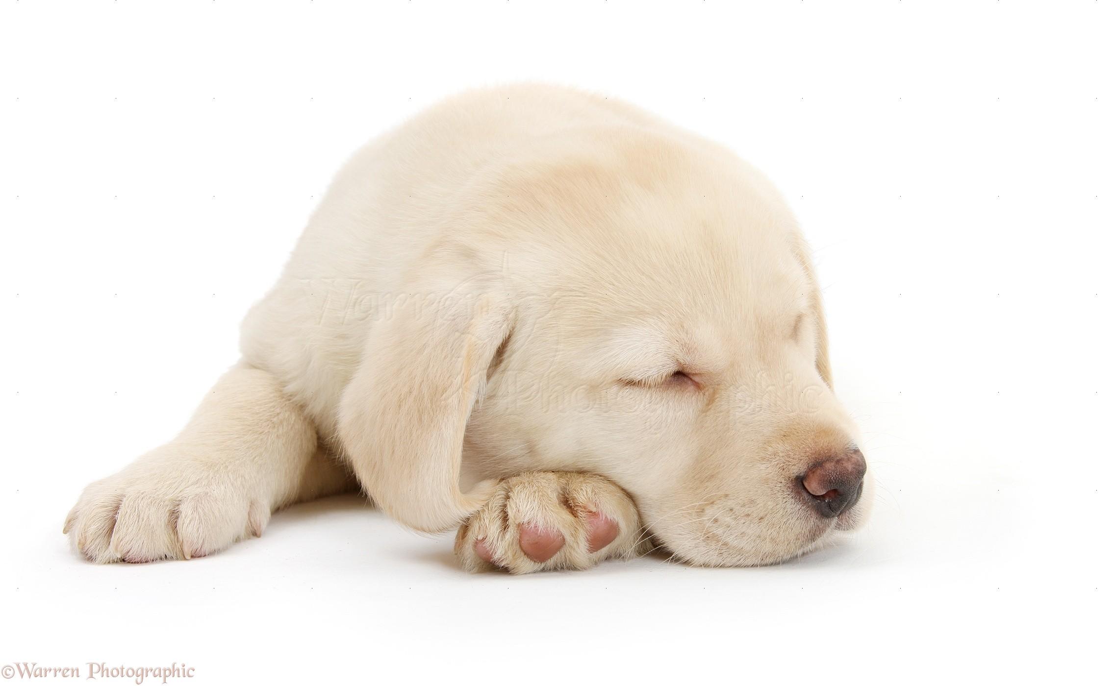 yellow lab puppy sleeping - photo #7