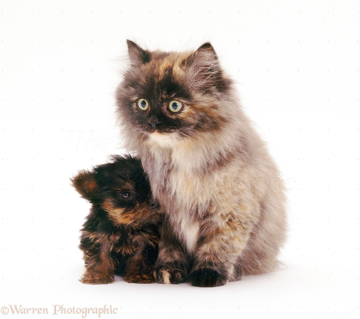 Wp26614 yorkshire terrier pup and fluffy tortoiseshell cat