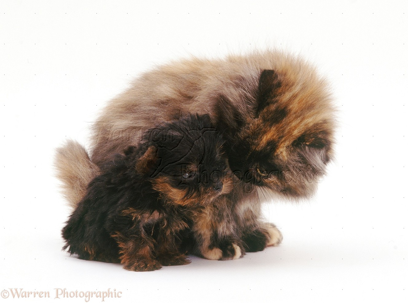 Wp26616 yorkshire terrier pup and fluffy tortoiseshell cat