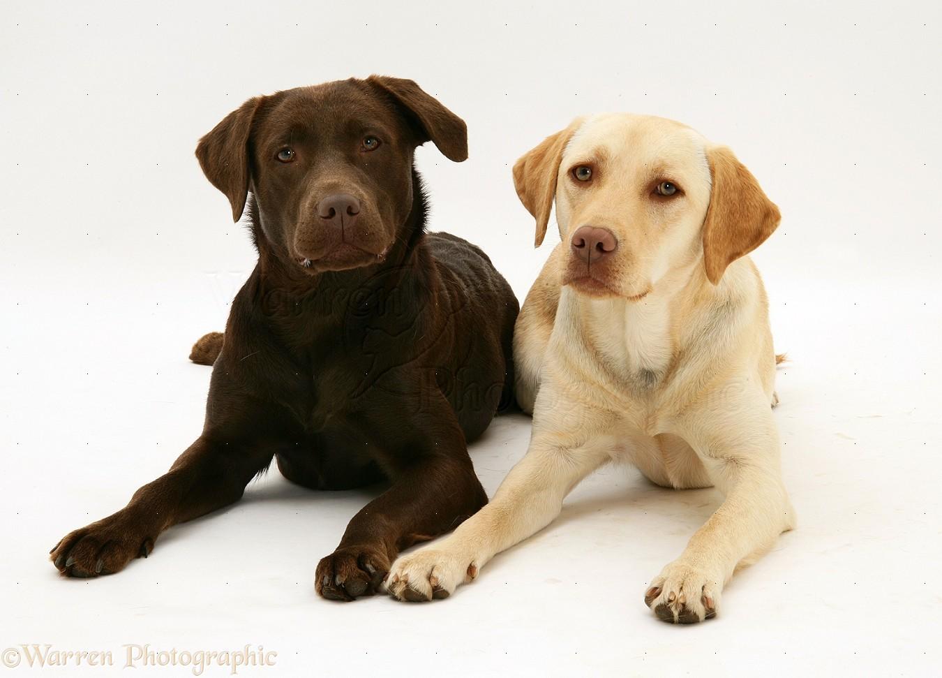 Dogs: Yellow and chocolate Labrador Retrievers photo - WP26658