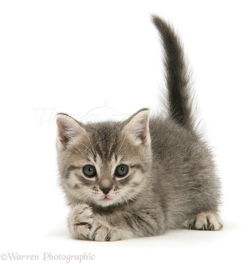 Wp26680 grey tabby british shorthair kitten
