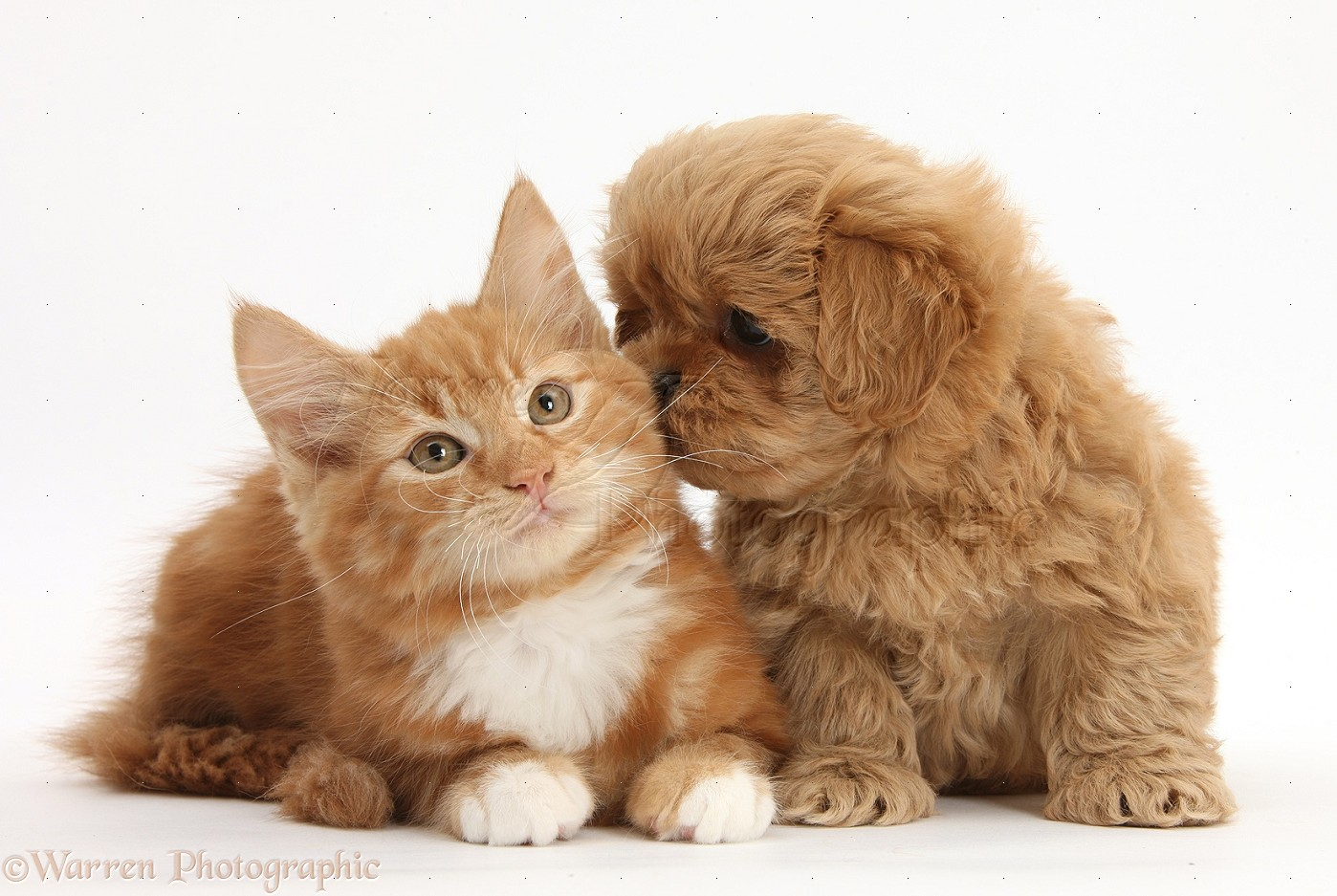 Pets Peekapoo pup and ginger kitten photo WP