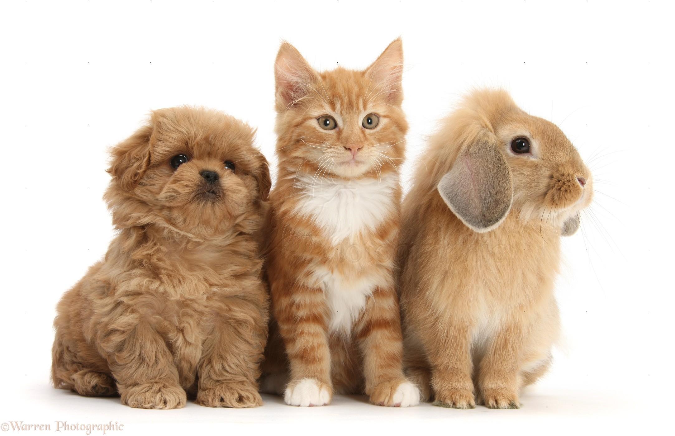 Pets: Peekapoo pup, Ginger kitten and Sandy Lop rabbit ...