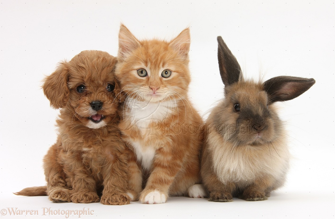 Pets: Ginger kitten with Cavapoo pup and Lionhead rabbit ...