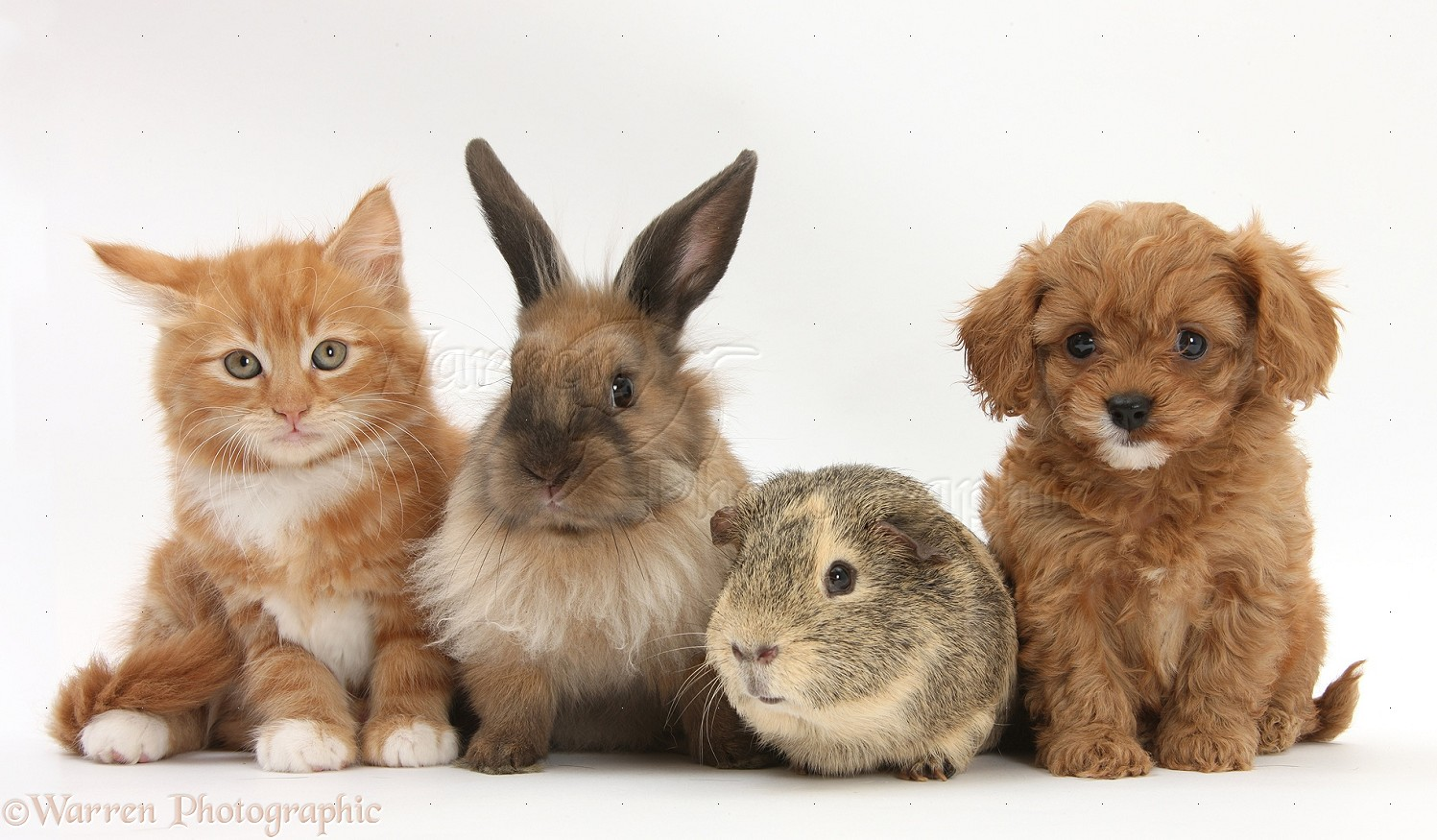 Pets: Ginger kitten with Cavapoo pup, rabbit and Guinea ...