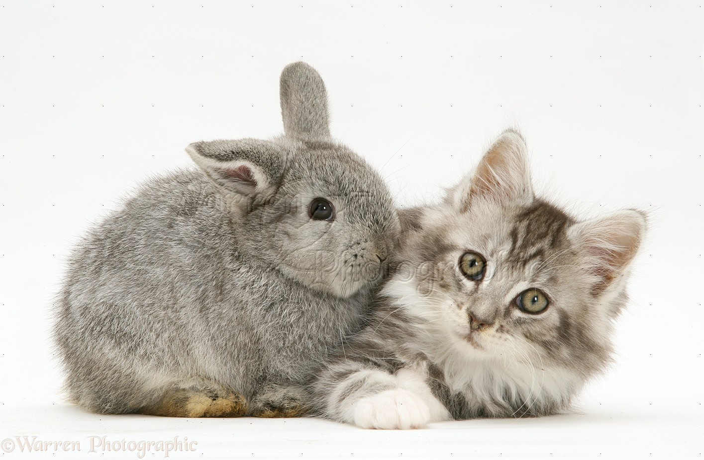 WP26844 Baby silver Lop rabbit with silver tabby Maine Coon kitten.