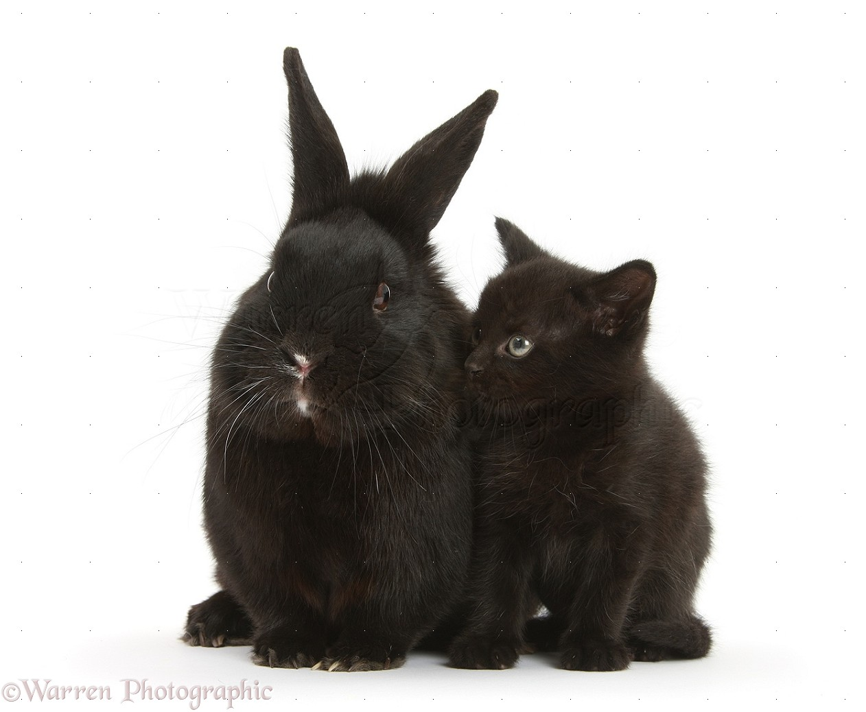 pets black kitten 7 weeks old and black rabbit photo