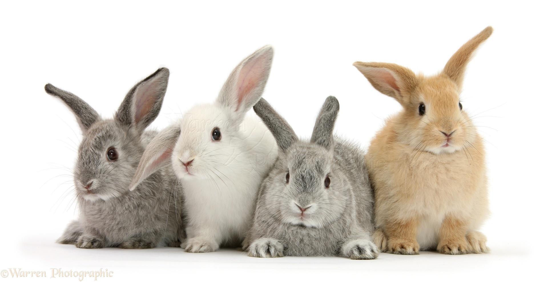 Four baby rabbits photo - WP27060