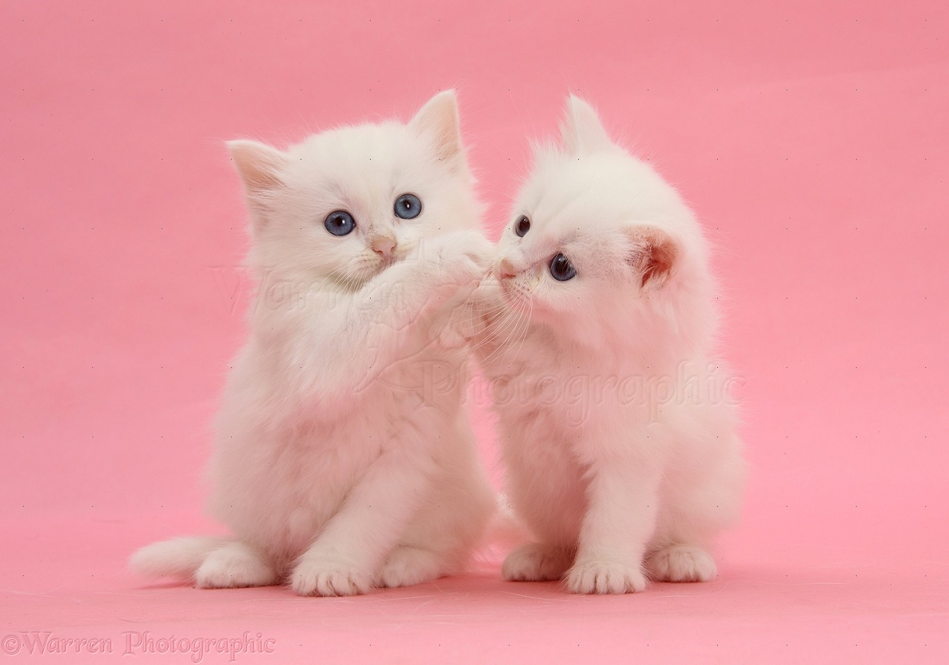 Two White Kittens On Pink Background Photo WP27070