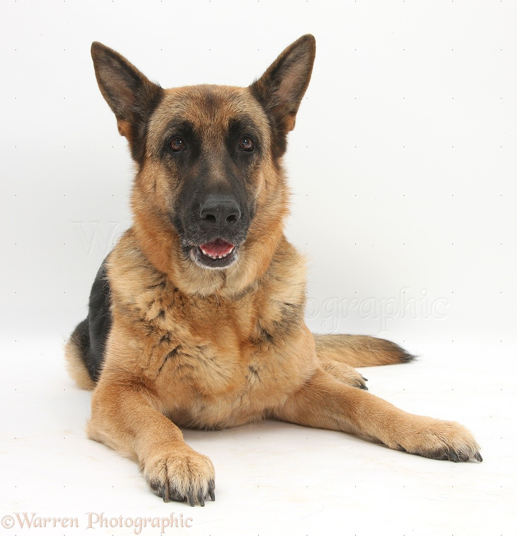 Wp27140 german shepherd dog zulu lying with head up