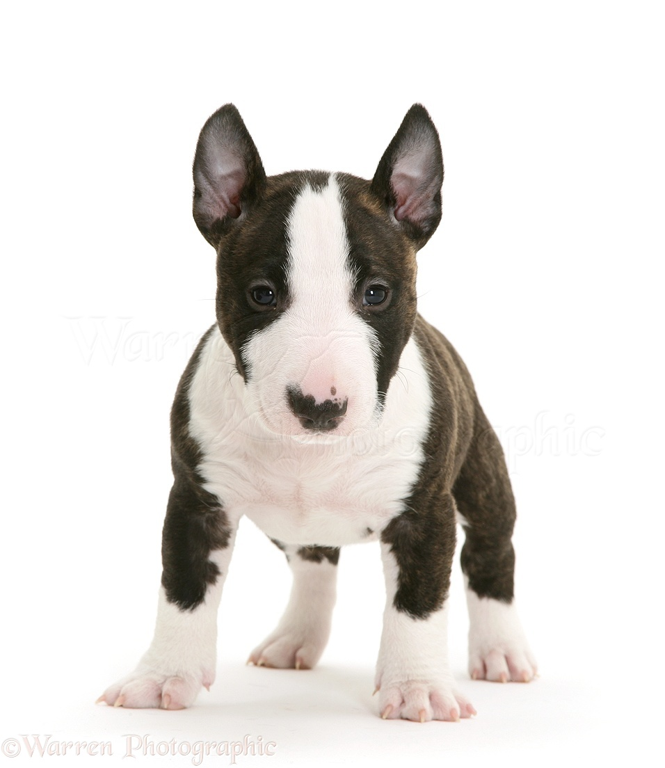 WP27194 Miniature English Bull Terrier pup, 6 weeks old.