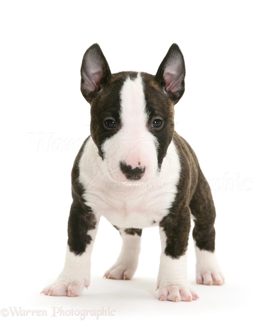 Bekend Dog: Miniature English Bull Terrier pup, 6 weeks old photo WP27194 PQ51