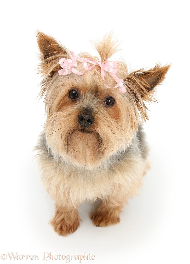 Dog Yorkie With A Bow In Her Hair Photo Wp27208