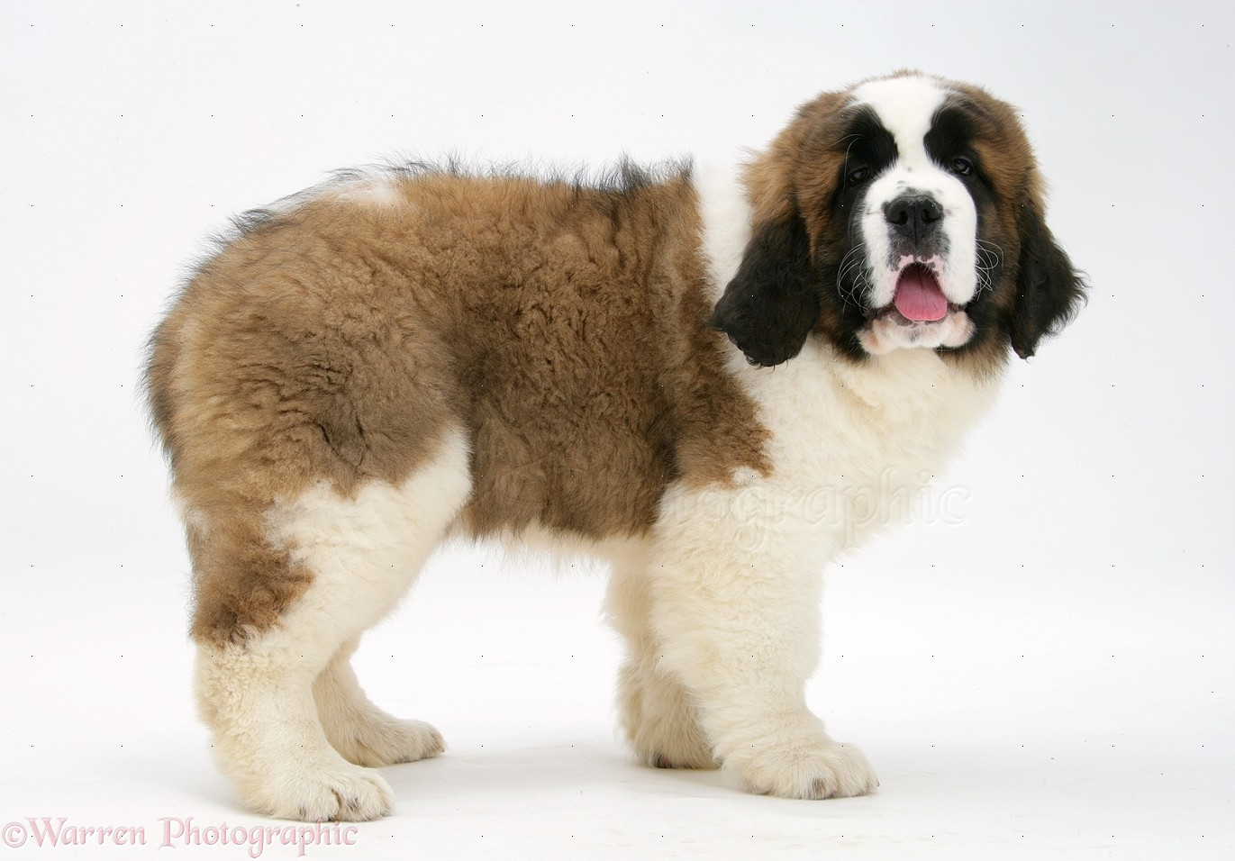Wp27217 saint bernard puppy vogue standing