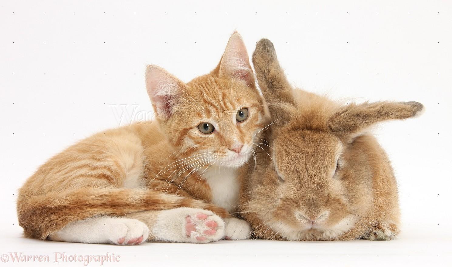 pets ginger kitten with sandy lionhead cross rabbit photo