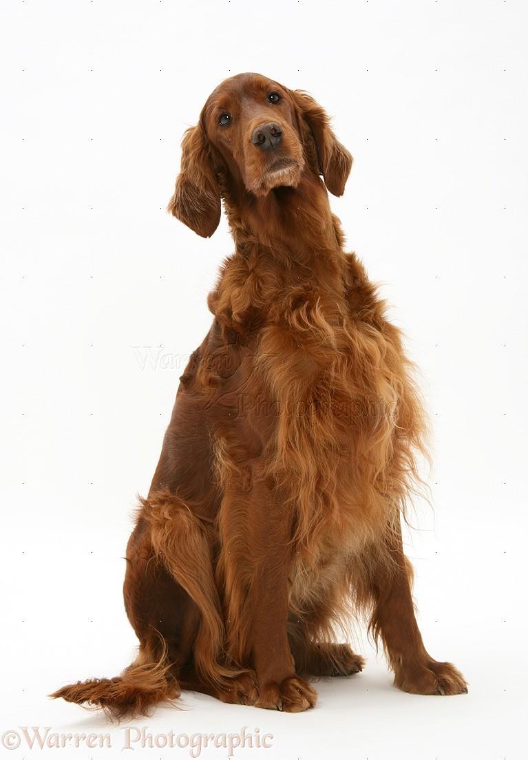 Dog: Red Setter bitch, sitting photo WP27245