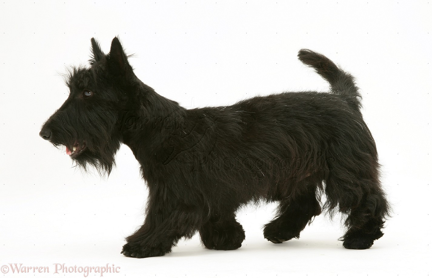 Pictures Of Black Scottie Dogs