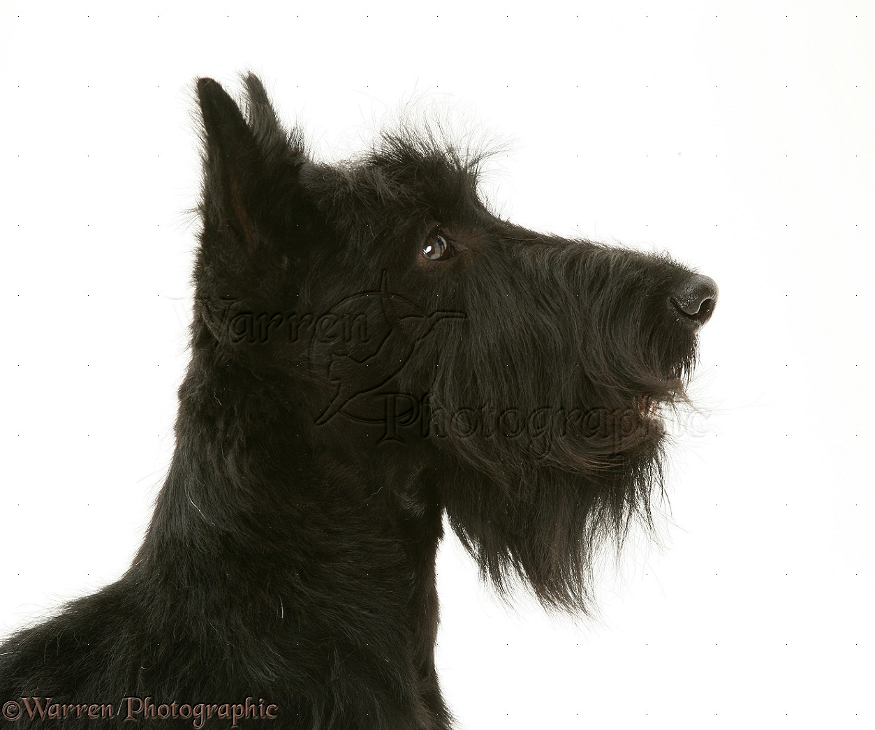 Scottie Dog Uk