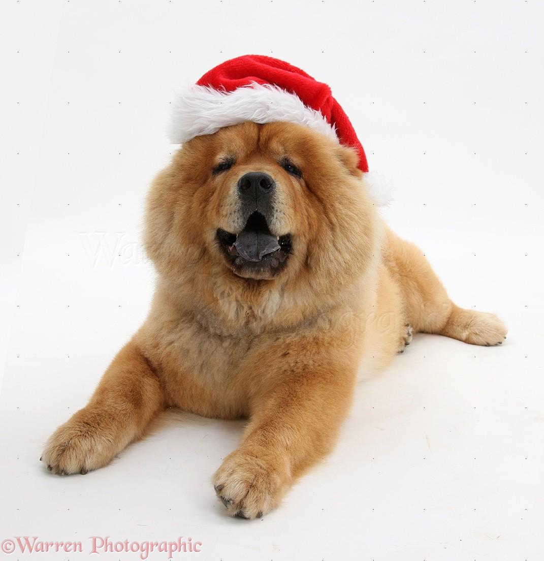 Chow Chow dog wearing a Santa hat photo WP27441