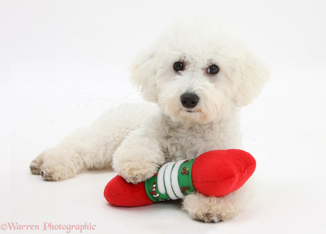 Frisé dog louie 5 months old with a soft toy christmas bone