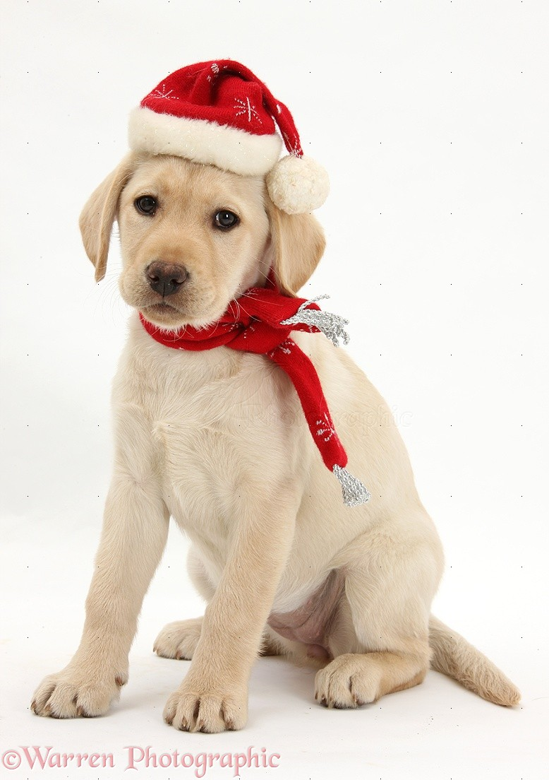 Dog Yellow Labrador Retriever Pup With Scarf And Santa Hat Photo Wp27468