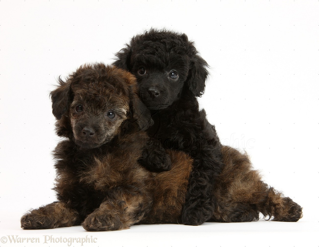 Cute Black Poodle Puppies